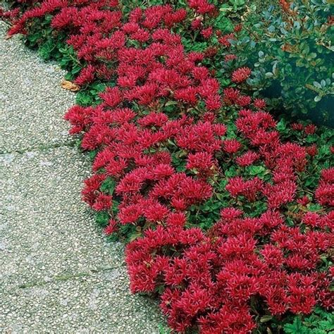 low growing flowering shrubs for sun 25 best ideas about sedum ground cover on