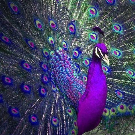 peacock feather colors purple peacock pinned 1 17 2017 birds