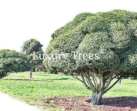 Sichtschutz Garten Mit Pflanzen by Sichtschutz 187 Luxurytrees 174 Schweiz