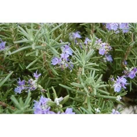 Bibit Rosemary bibit bunga bibit rosemary lazada indonesia