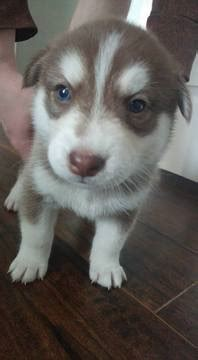 husky puppies for sale in va view ad siberian husky puppy for sale virginia virginia usa