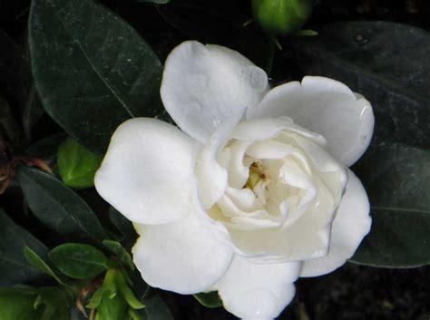Gardenia Quality Ciarrocchi Vivai Quality Plants Since 1915 Le Gardenie