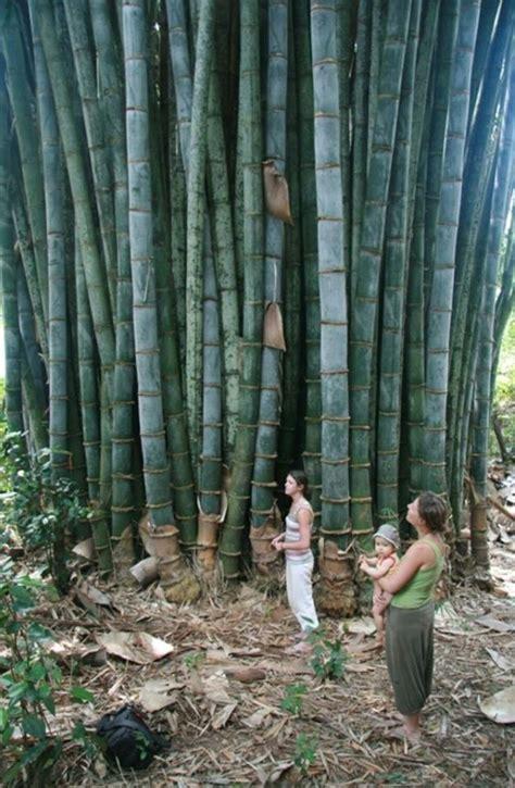 bamboo garden fences ideas  pinterest house