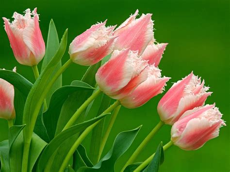 wallpaper bunga tulip hd bunga tulip wallpaper wallpapper hd wallpapers
