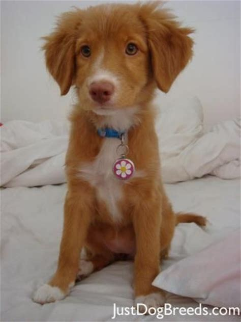 Scotia Duck Tolling Retriever Puppy I Decided This Is What I Want Next Year When