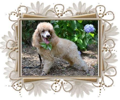 rottweiler puppies boise idaho pawz miniature schnauzer breeds picture
