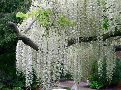 white flowering tree identification white flowered trees