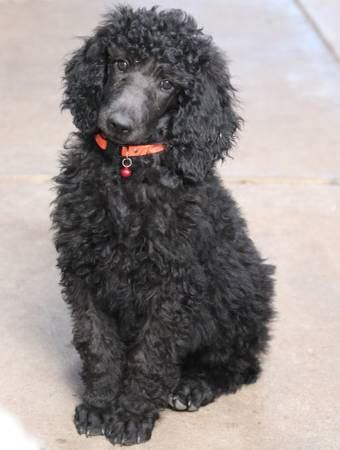 standard poodle puppies california standard poodle rescue san jose ca dogs our friends photo