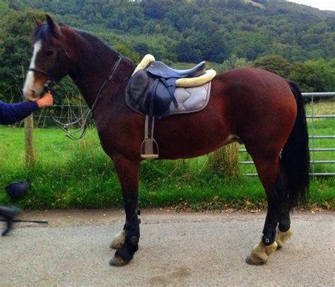 welsh section d colt for sale fantastically bred welsh section d denbigh denbighshire