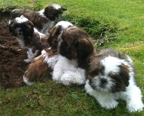 looking for shih tzu puppies adorable shih tzu puppies looking for new homes emsworth hshire pets4homes