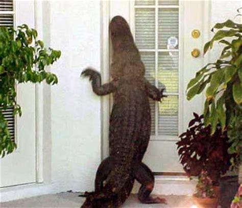 Alligator At Front Door Occoquan
