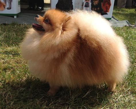 best shoo for pomeranian md10 best professional grooming shoo clients photos