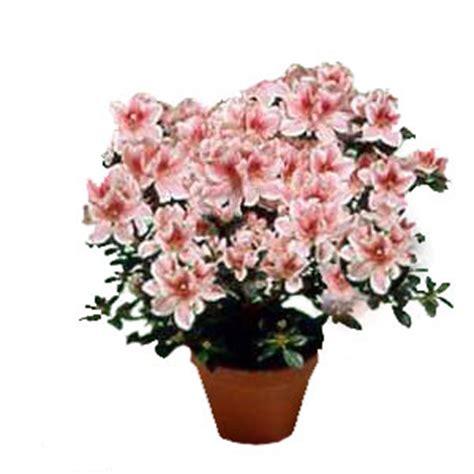 azalea in vaso azalea consegna fiori lecce bouquets piante