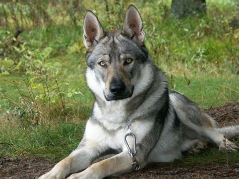 wolf german shepherd the distant memory open and accepting