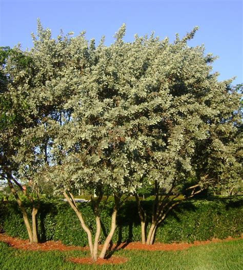 buy silver buttonwood tree  sale  miami ft lauderdale