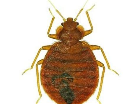 how can i tell if i have bed bugs how do i know if i have bed bugs muskego wi patch