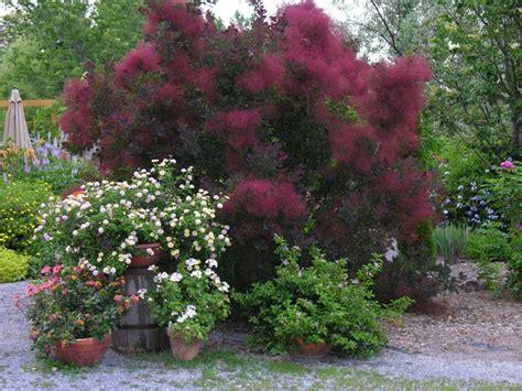 cotinus coggygria royal purple purple smoke bush leafland
