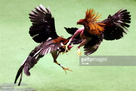 pelea de gallos de chelo papeleta cockfighting in puerto rico pictures getty images