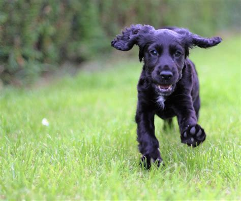 walking puppy wallpaper cocker spaniel puppy walking hd widescreen high definition fullscreen