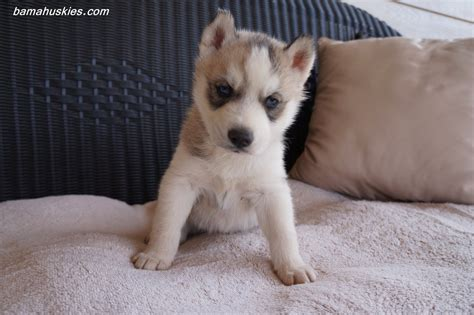 puppy huskies siberian husky puppies for sale 171 siberian husky puppies for sale