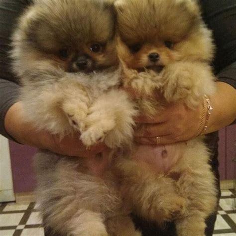 pomeranian puppies for sale cheap price die besten 25 pug puppies price ideen auf baby schwarzer mops m 246 pse und