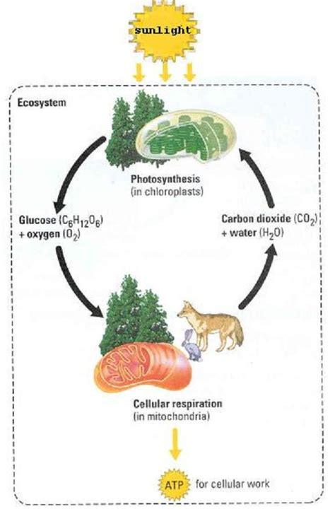 photosynthesis and respiration diagram plant respiration diagram