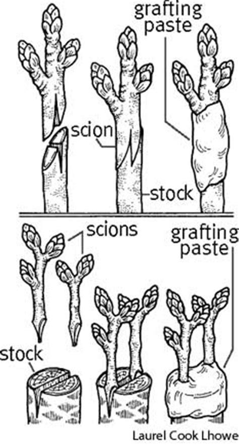 scion plant definition graft define graft at dictionary