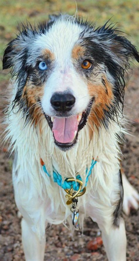 shepherd color 17 best images about australian shepherds on