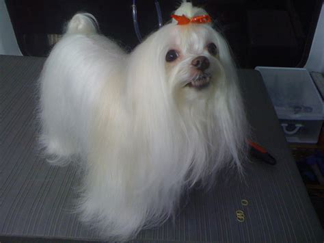 grooming a maltese pet grooming styles maltese grooming pictures doggybow breeds picture