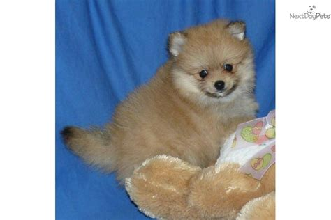 pomeranian puppy tips pomeranian puppies for sale akc breeders puppy tips the american breeds picture