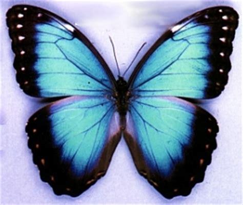 imagenes de mariposas moradas y azules im 225 genes de mariposas delyn22 s blog