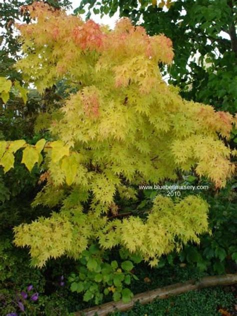 best 25 acer palmatum ideas on acer acer trees and japanese maple garden