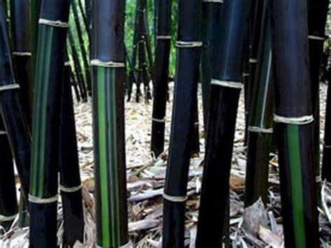 Kirai Kulit Bambu Hitam 2 tanaman bambu hias di indonesia bibitbunga