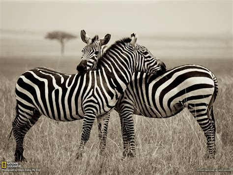 foto zebra design zebra picture animal wallpaper national geographic