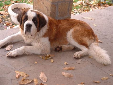 st bernard puppies for sale in michigan classified ads for dogs