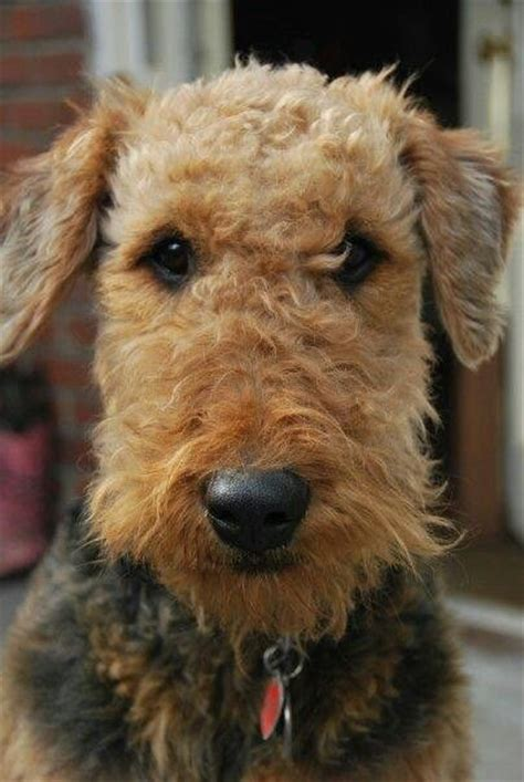 winter airedale haircut 188 best all airedales images on pinterest airedale