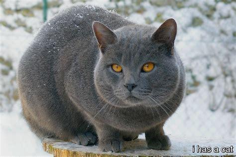 Chartreux Cat   I Has A Cat