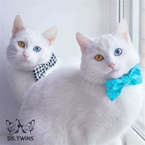 twin cats meet adorable twin cats with heterochromatic eyes who are