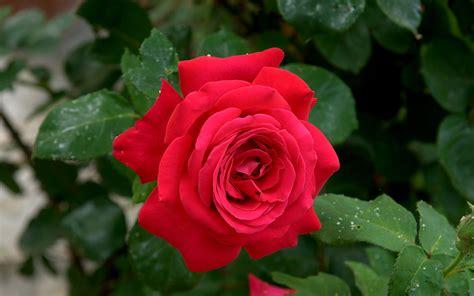 Mawar Mini Rambat Artifisialplastik Pink rosa rosso porpora