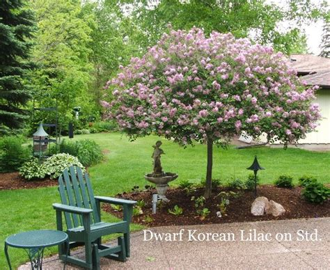 Magnolia Garden Nursery by 17 Best Images About Home Landscaping On Trees Prunus And Shrubs