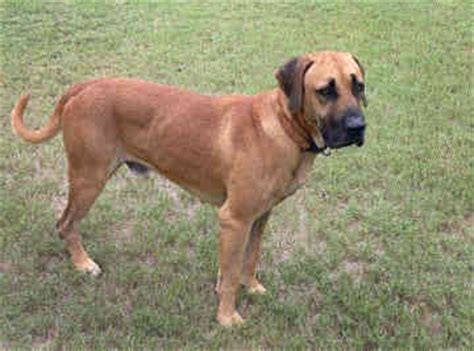 black cur black cur breed information pictures and facts alldogsworld
