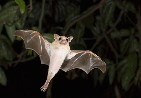 Bats Blind false animal facts bats are blind mnn nature