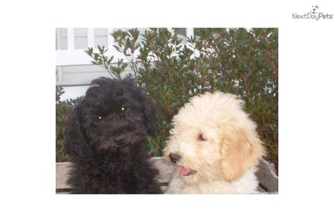 mini doodle virginia goldendoodle for sale for 1 000 near fredericksburg