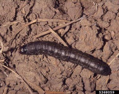 Insektisida Furadan 3g pertanian hama dan penyakit tanaman tomat