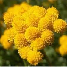 Bijibenihbibit Bunga Golden Lupine jual bibit bunga cantik jual bibit bunga murah
