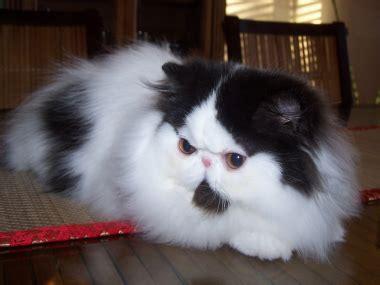 artemisia persiana risultati espositivi gattipersiani it gatti persiani