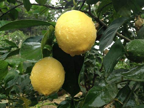 b q fruit plants 10x various lemon tree seed lime indoor outdoor