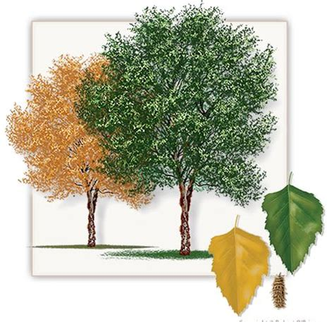 river birch maple tree height 20 fall color yellow growth rate 1 per year