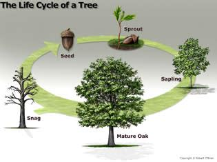 how many states grow trees cycle of a tree a m forest service trees of