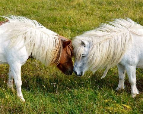 pony at unst shetland visitor